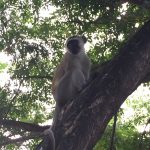 At Mawimbi Cottage where we were staying, we were joined (usually at mealtimes!) by a troop of monkeys!